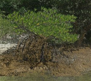 muddy mangroves